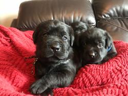 Black Lab Pups