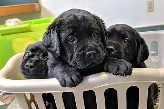 Belle Notte Labradors Black Lab Litter