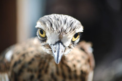 Twiggy the Curlew