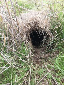 bettong nest