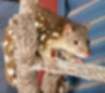 Tiger Quoll_cropped.jpg
