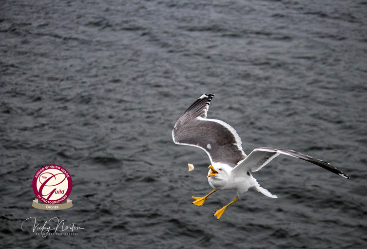 Seagull catching bread