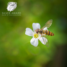 hoverfly SILVER JULY 20 1.jpg