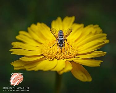 Yellow fly 1 2980 BRONZE AUGUST 20.jpg