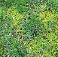 OM lawn moss_edited.jpg