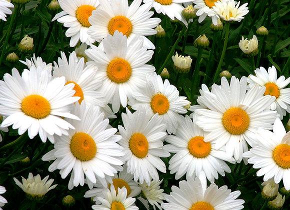Shasta Daisy Plant