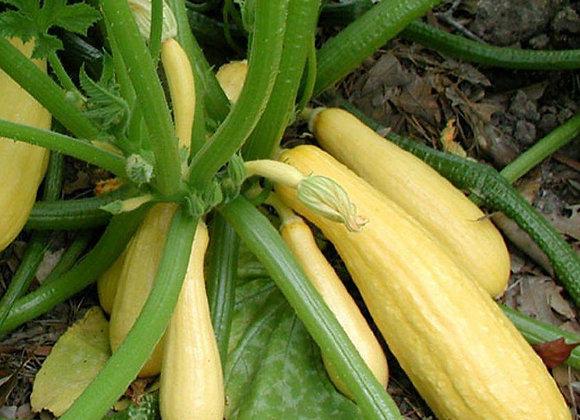 Yellow Crookneck Squash Plant