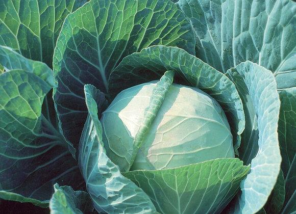 Farao Cabbage Plant