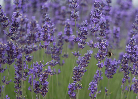 Munstead Lavender Plant