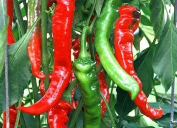 Jimmy Nardello Pepper Plant