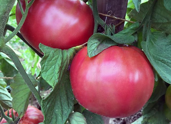 Prudens Purple Tomato Plant