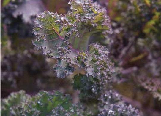 Scarlet Kale Plant