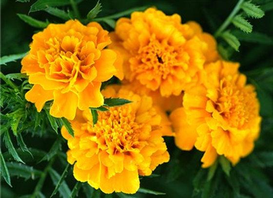Gypsy Sunshine Marigold
