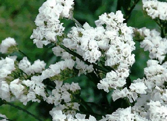White Statice Plant