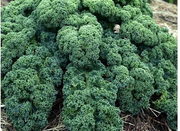 Blue Curled Scotch Kale Plant