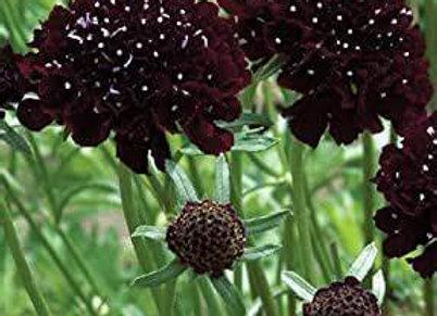 Black Beauty Scabiosa Plant