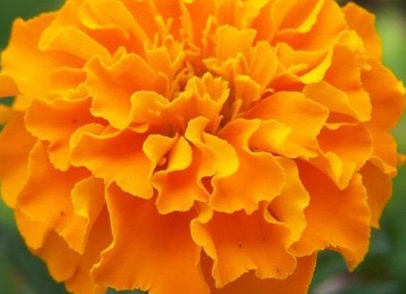 Orange Hawaii Marigold Plant