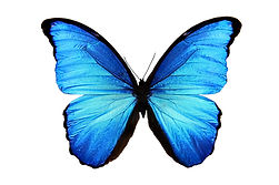 butterfly Morpho didius.jpg