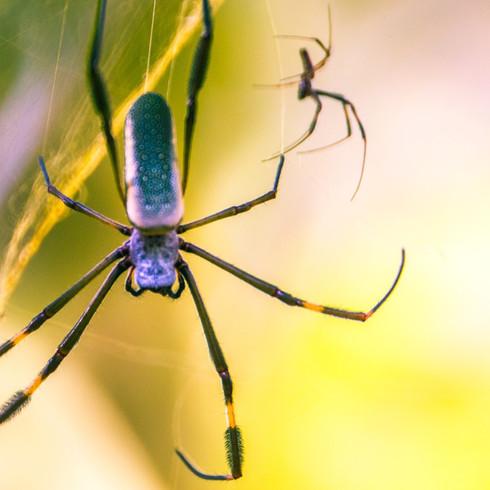 Spider-Brazil-488A7968.jpg