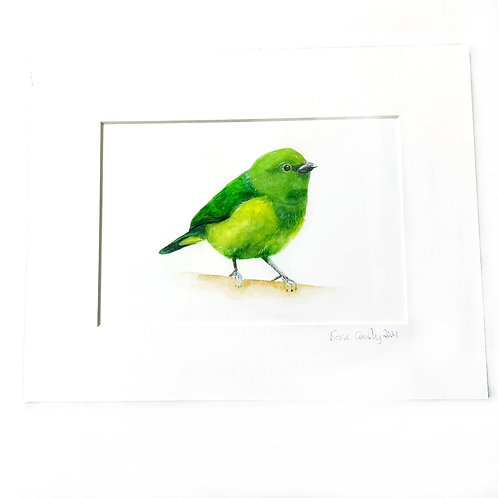 Golden Browed Chlorophenia Watercolour Mounted Print