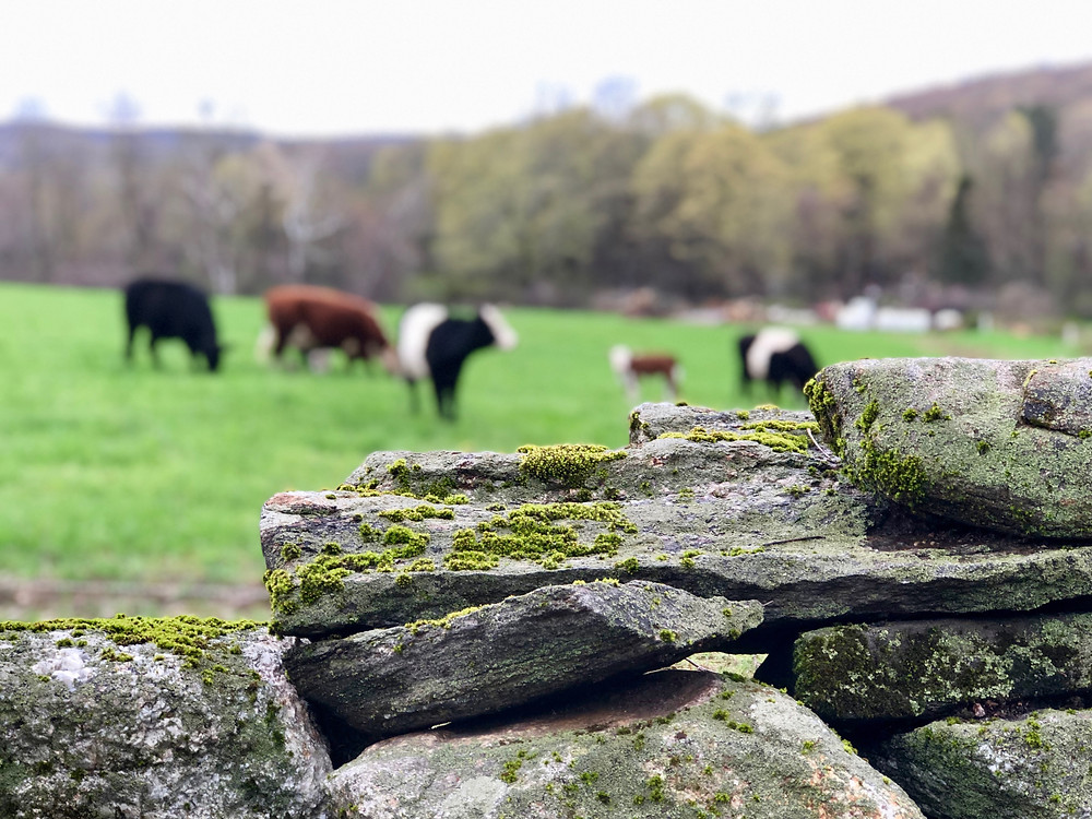 Connecticut stone wall and grass fed beef in field