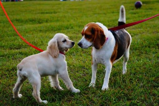 Waarom het een slecht idee is om honden die aangelijnd zijn aan elkaar te laten snuffelen??