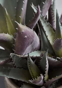 Burgundy Tipped Aloe close up