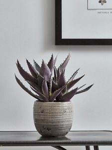 Burgundy Tipped Aloe in a ceramic small planter