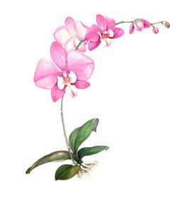 Ann - Moth orchid