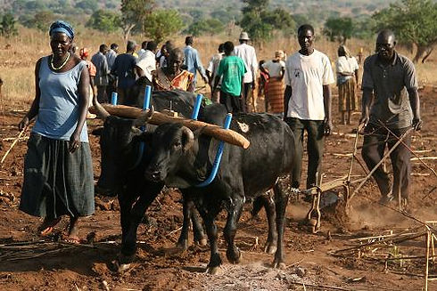 Peace Harvest Working Oxen.jpeg