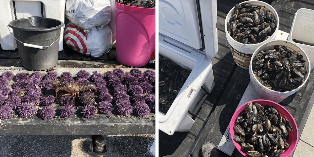 two photos of sea life, the first one is of purple sea urchins and a lobster, the second is of buckets of mussels.