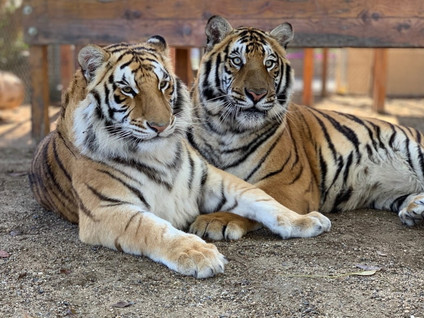 CONVICTION OF STUDIO CITY MAN FOR ILLEGAL POSSESSION AND MISTREATMENT OF ENDANGERED BABY TIGER