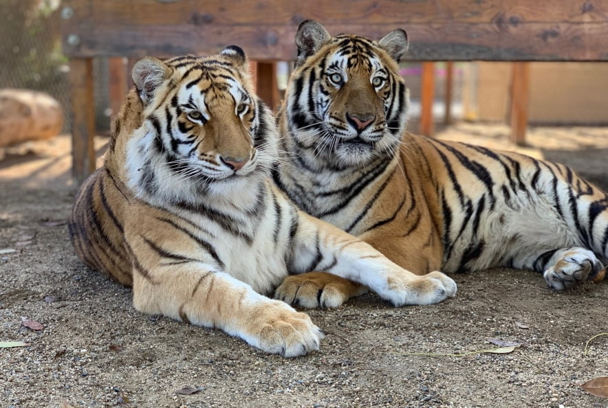 Two beautiful Bengal Tigers lying next to each other.
