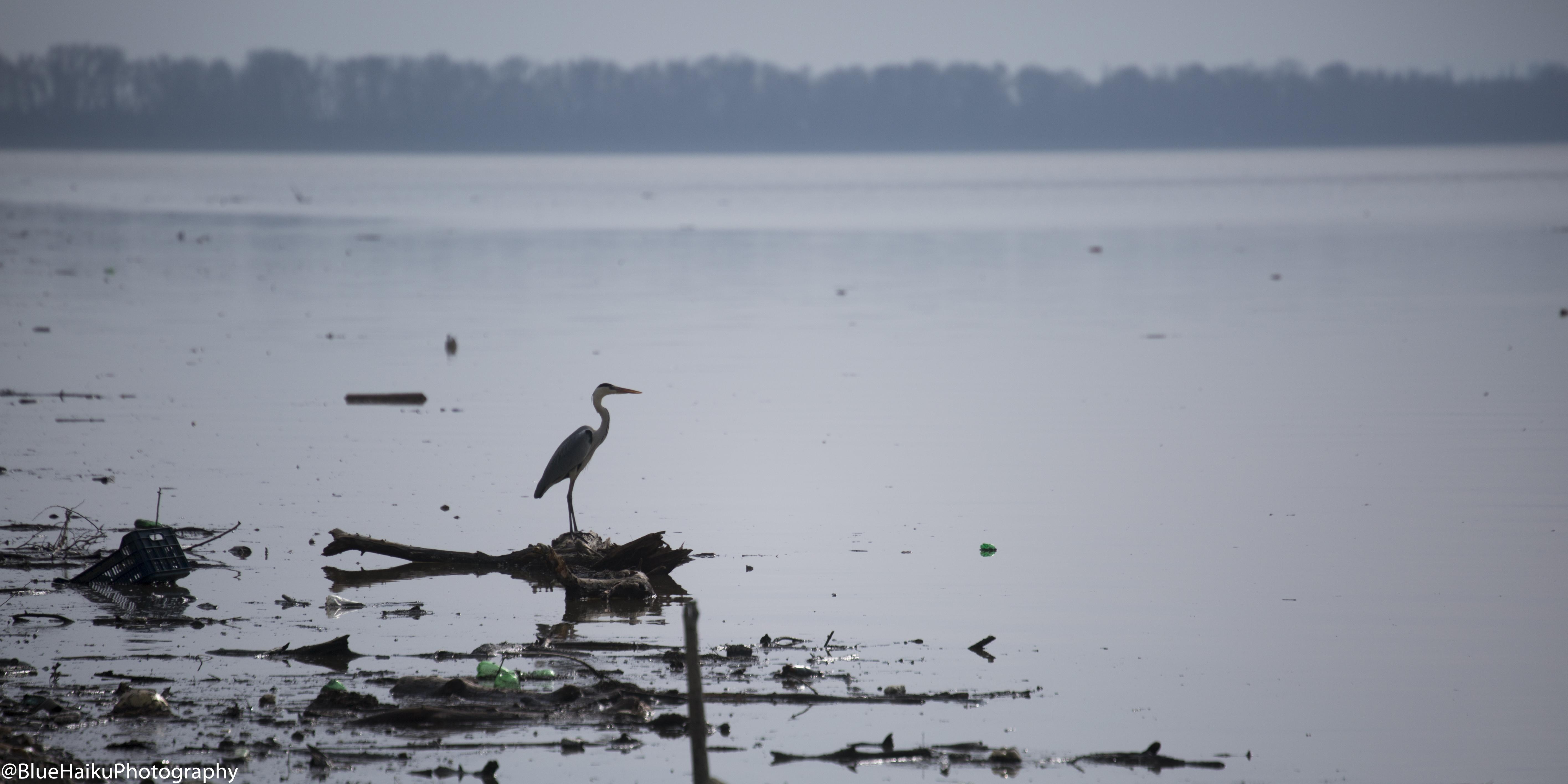 Kerkini Lake_HeronInThought2