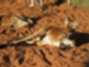 kangaroos.jpg