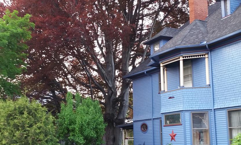 200 year old Copper Beech tree