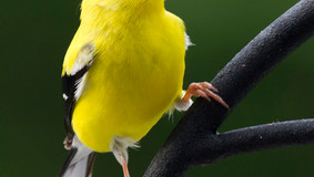 Is Avian Mycoplasmosis infecting the Song Birds?