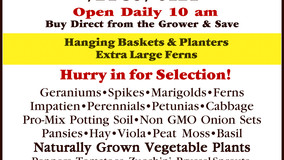 Fisher's Green House - Hanging Baskets & Planters - Extra Large Ferns