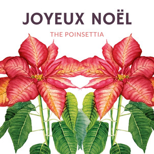 A FEW WORDS ABOUT POINSETTIAS