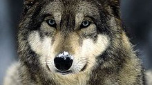 The Flawed 'Alpha Wolf' Theory
