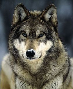 the flawed alpha wolf theory