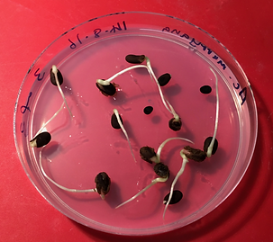 Germinating Acacia seeds