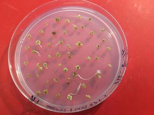 Saltbush Atiplex semilunaris seeds