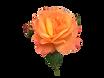 アンネのバラ100.png