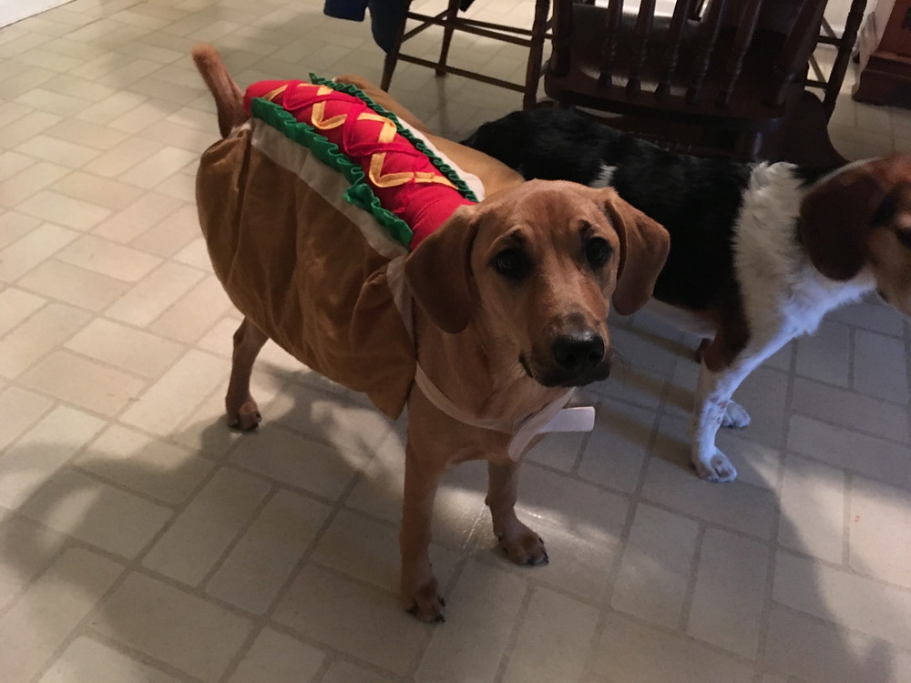 Brown dog in halloween costume
