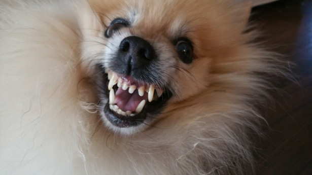 Pomeranian dog snarling