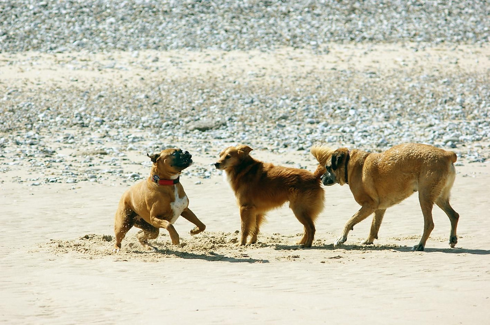 Dogs playing on a beach