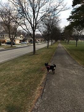 Mixed Breed Dog walk