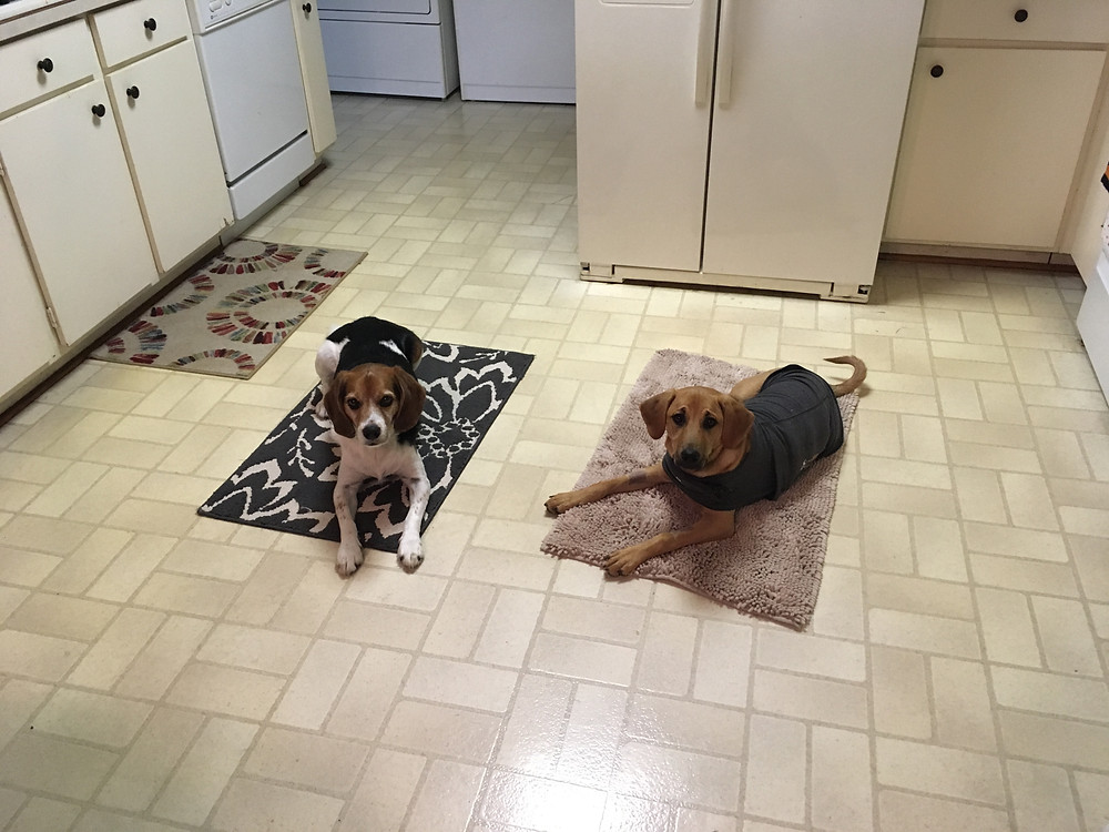 Two dogs in training