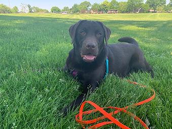 Labrador retriever laying in the grass